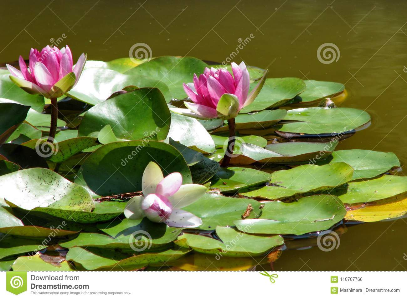 Pink Water Lily Flowers In The Pond On A Summer Day Stock Photo