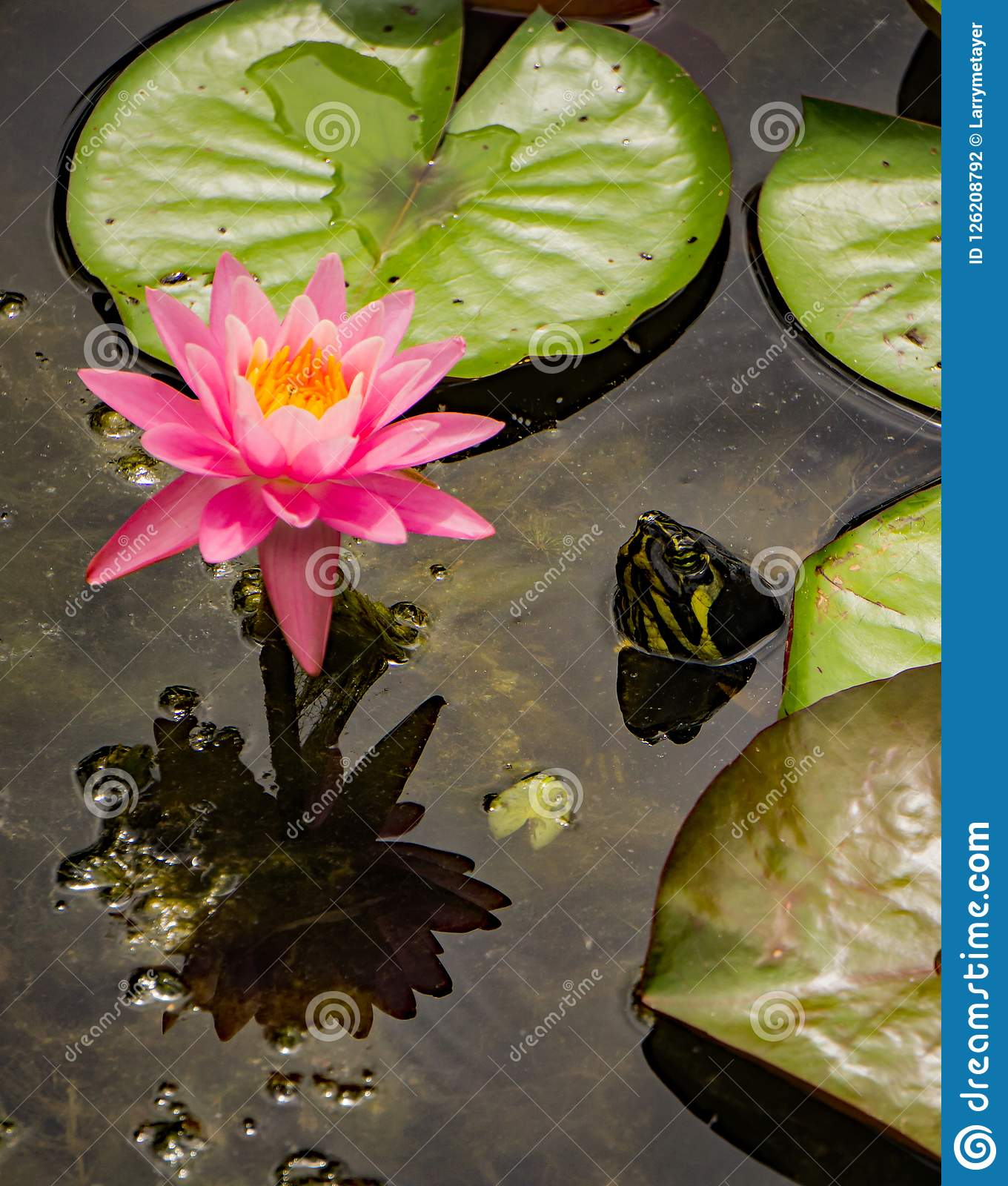Pink Water Lily And A Turtle Head Stock Photo Image Of Lilies