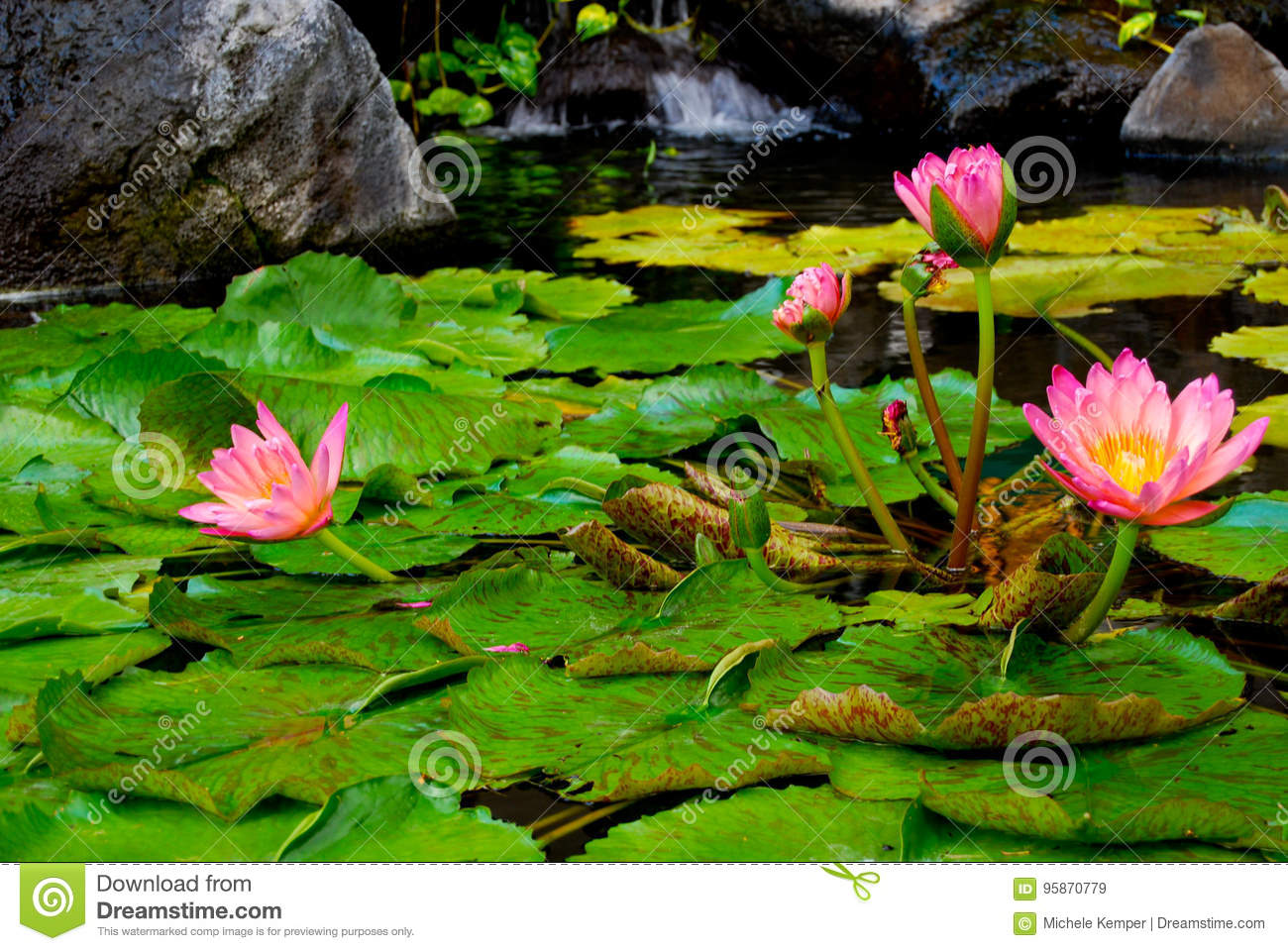Pink Water Lily blossoms