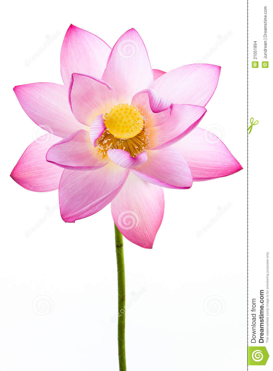 Pink water lily flower lotus and white backgroun stock photo pink water lily flower lotus and white backgroun izmirmasajfo