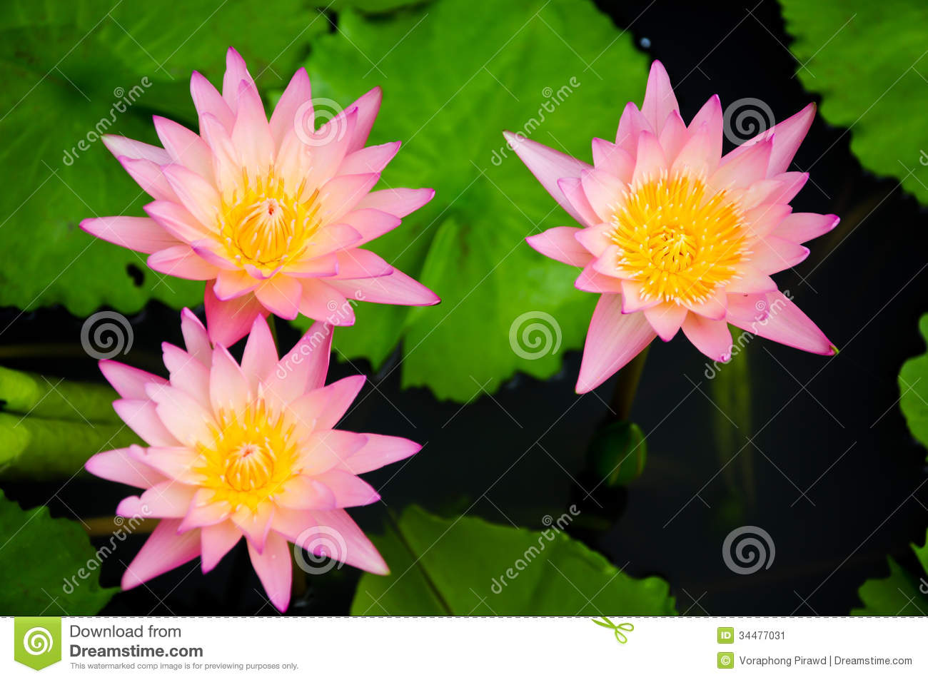 Pink Water Lily Flowers Stock Image Image Of Botany 34477031