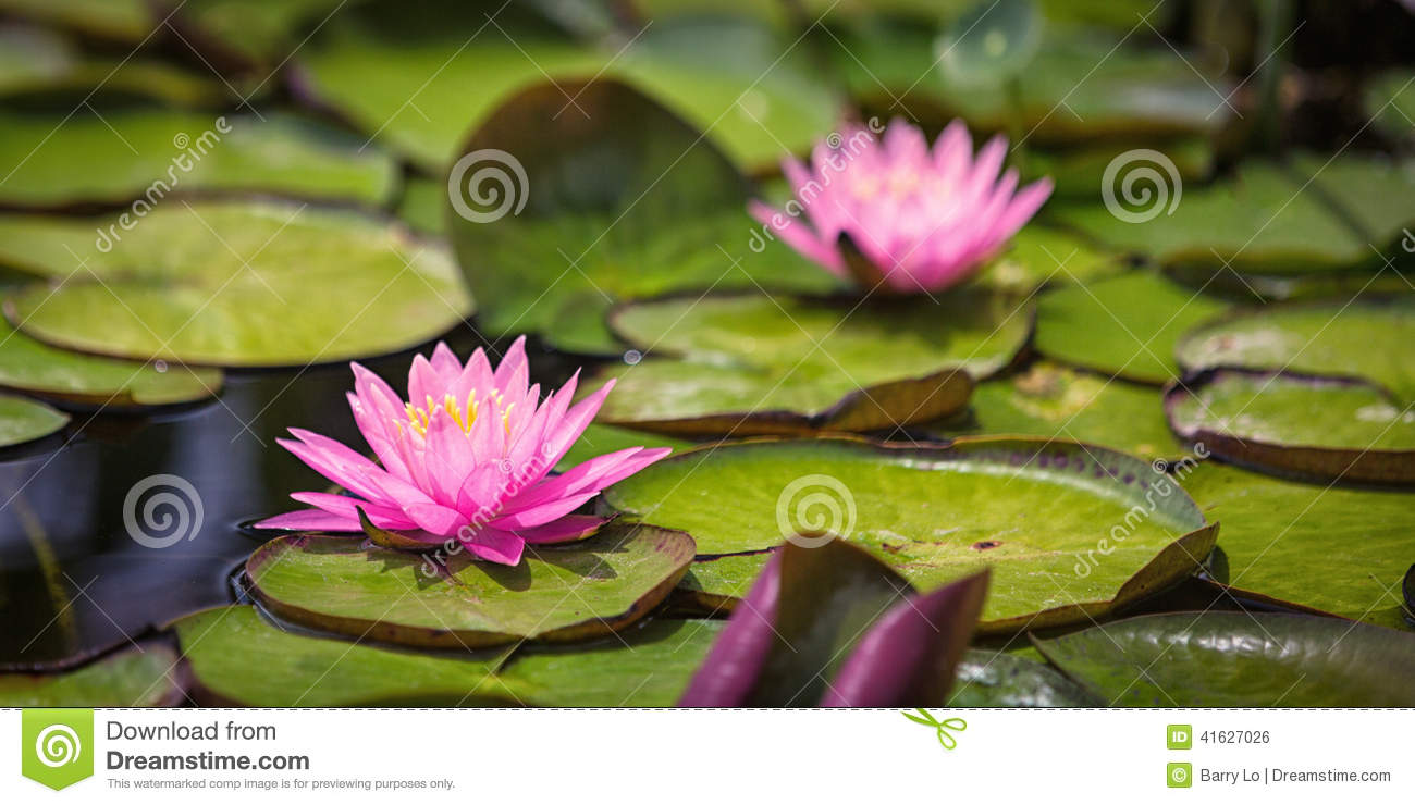 Pink Water Lily and Lily pads in pond