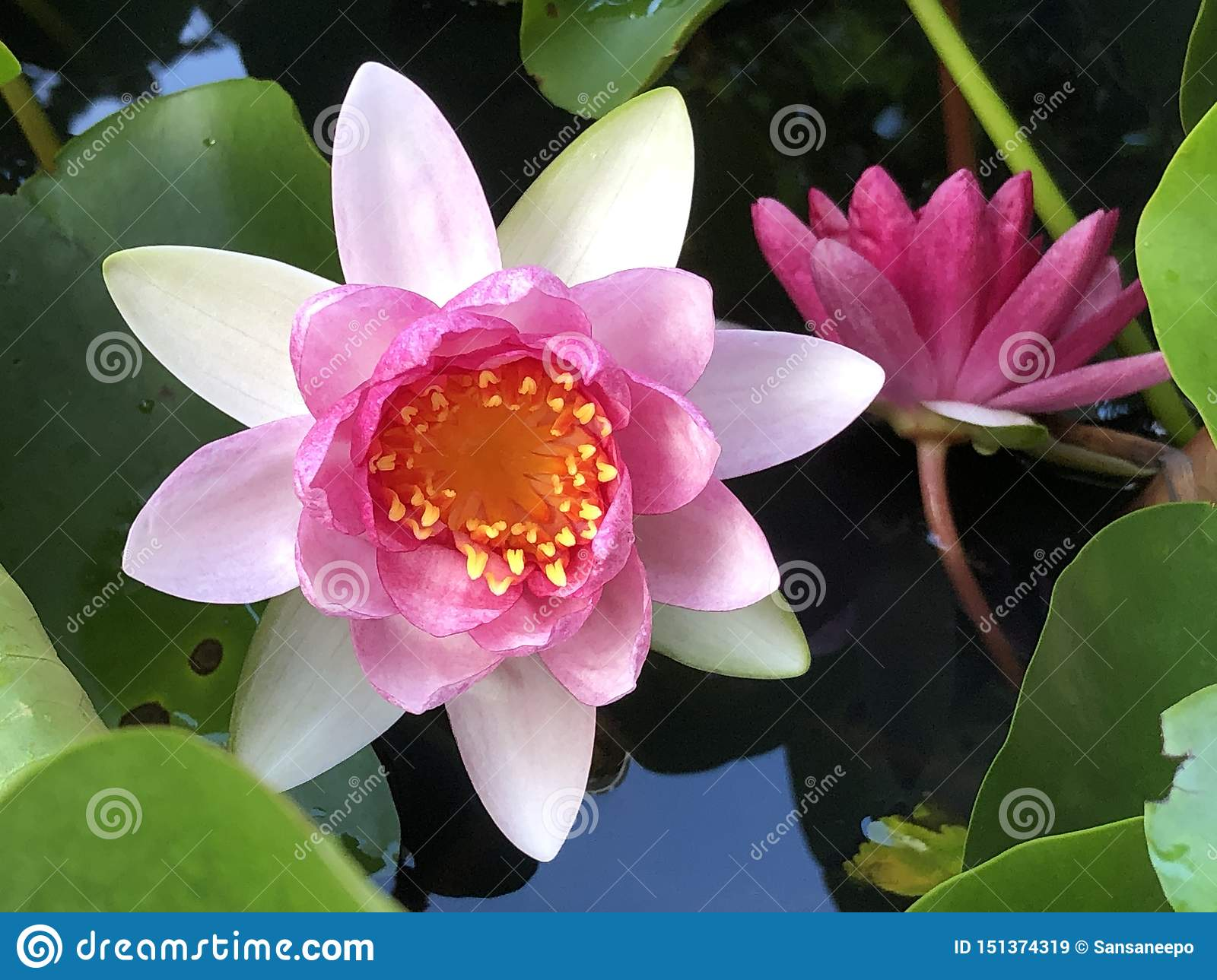 Pink Water Lily, soft, pastel