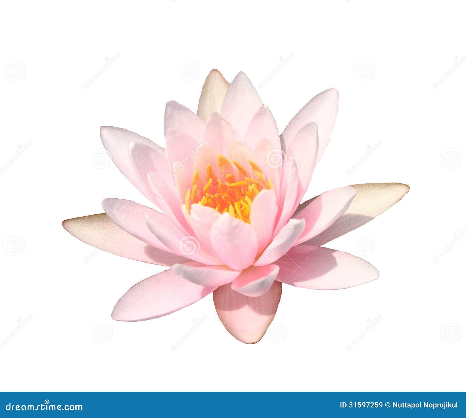 Free Ppt Backgrounds Desktop Wallpaper Flower Pink Lotus: Pink Water Lily On White Background,Pink Lotus Stock Image