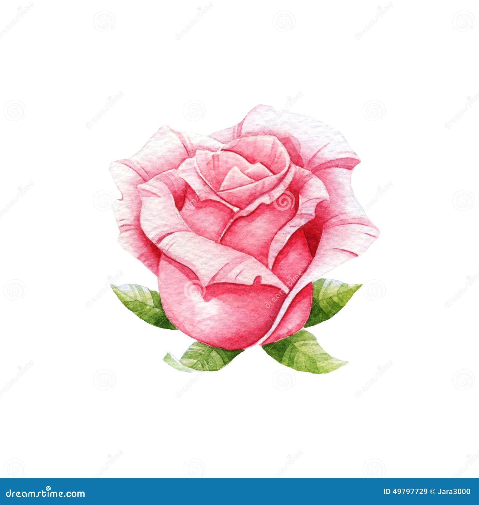 Pink Watercolor Rose Stock Illustration Illustration Of Image