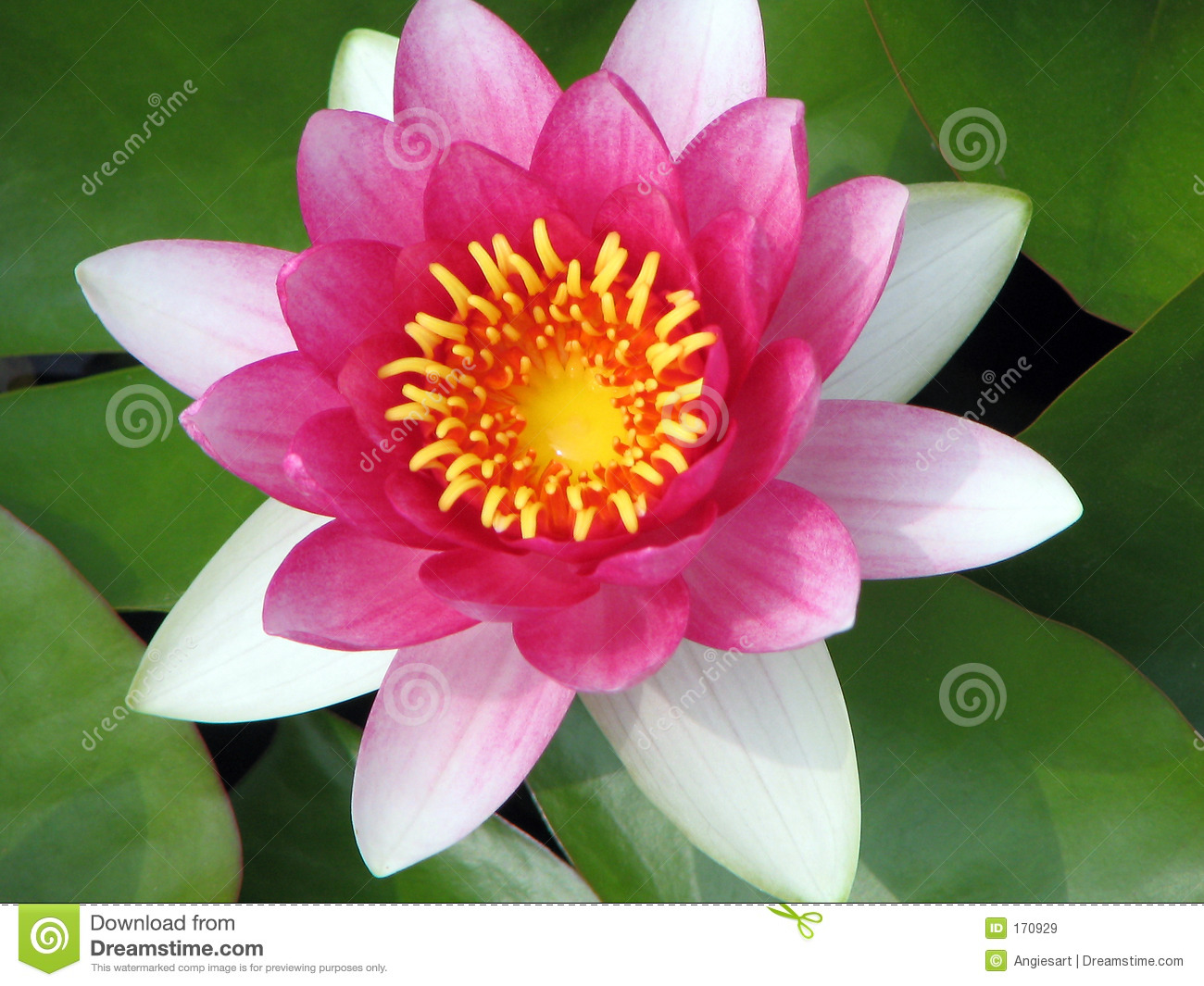Pink Waterlily Closeup Royalty Free Stock Images - Image: 170929