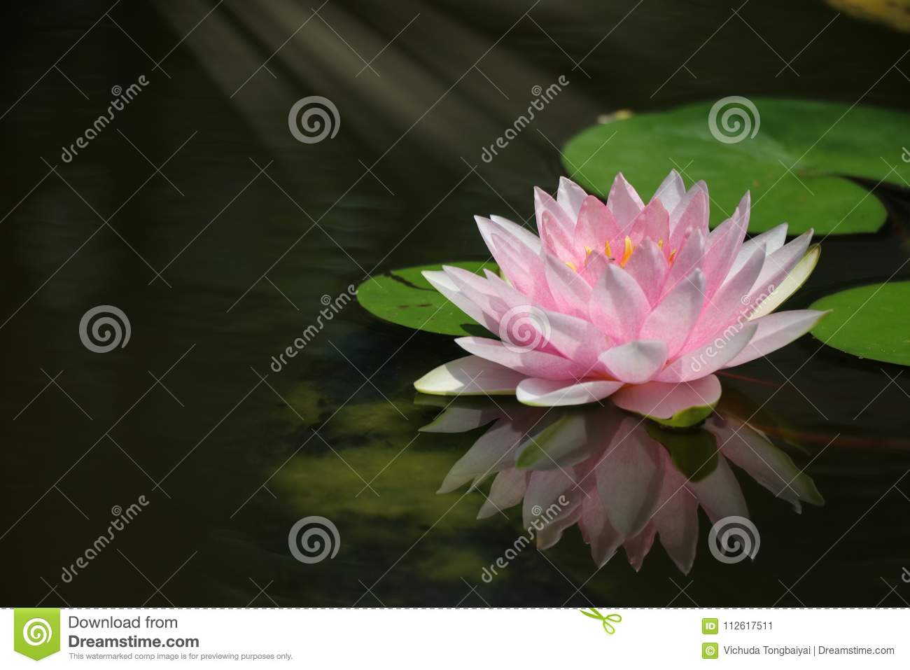 Pink Waterlily Reflection Water Surface With Lights Effects Stock