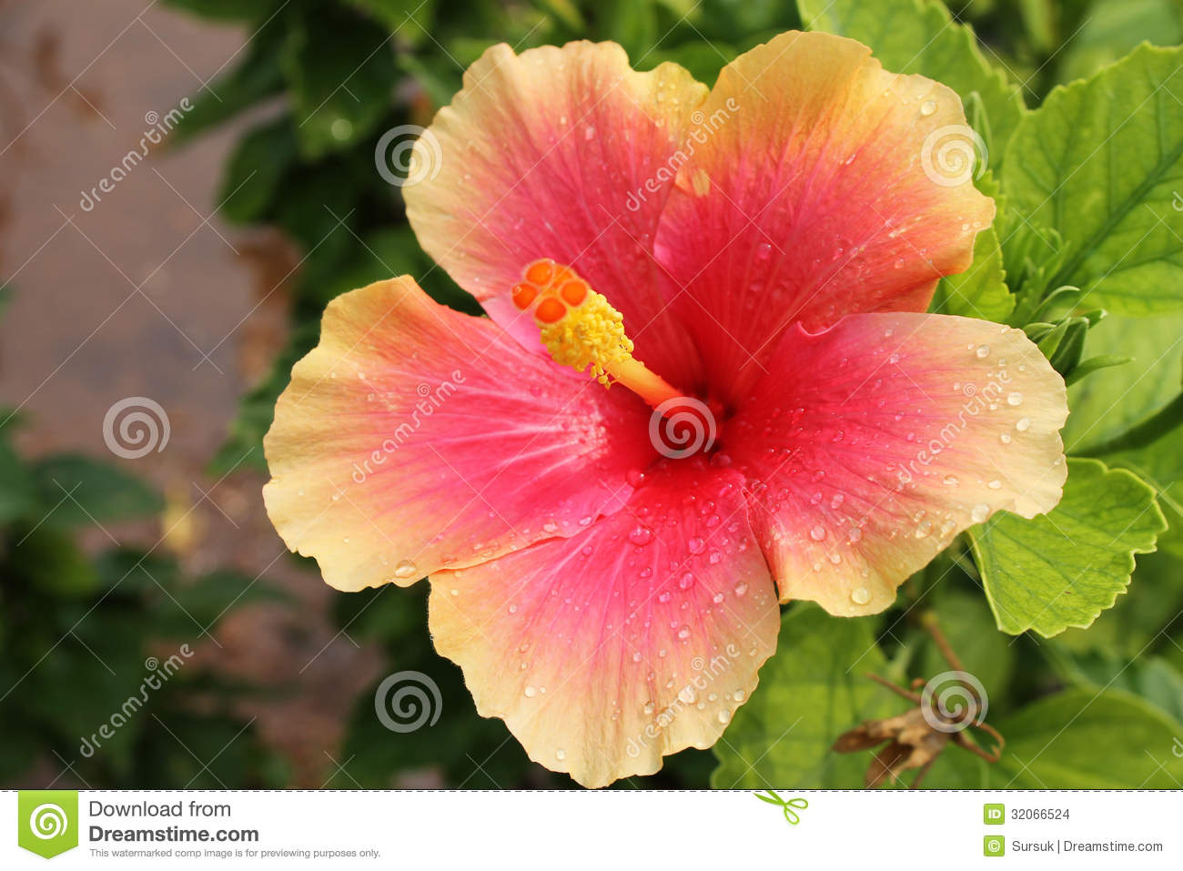 Pink And Wet Hibiscus Flower Hibiscus Rosa Sinensis Stock Photo
