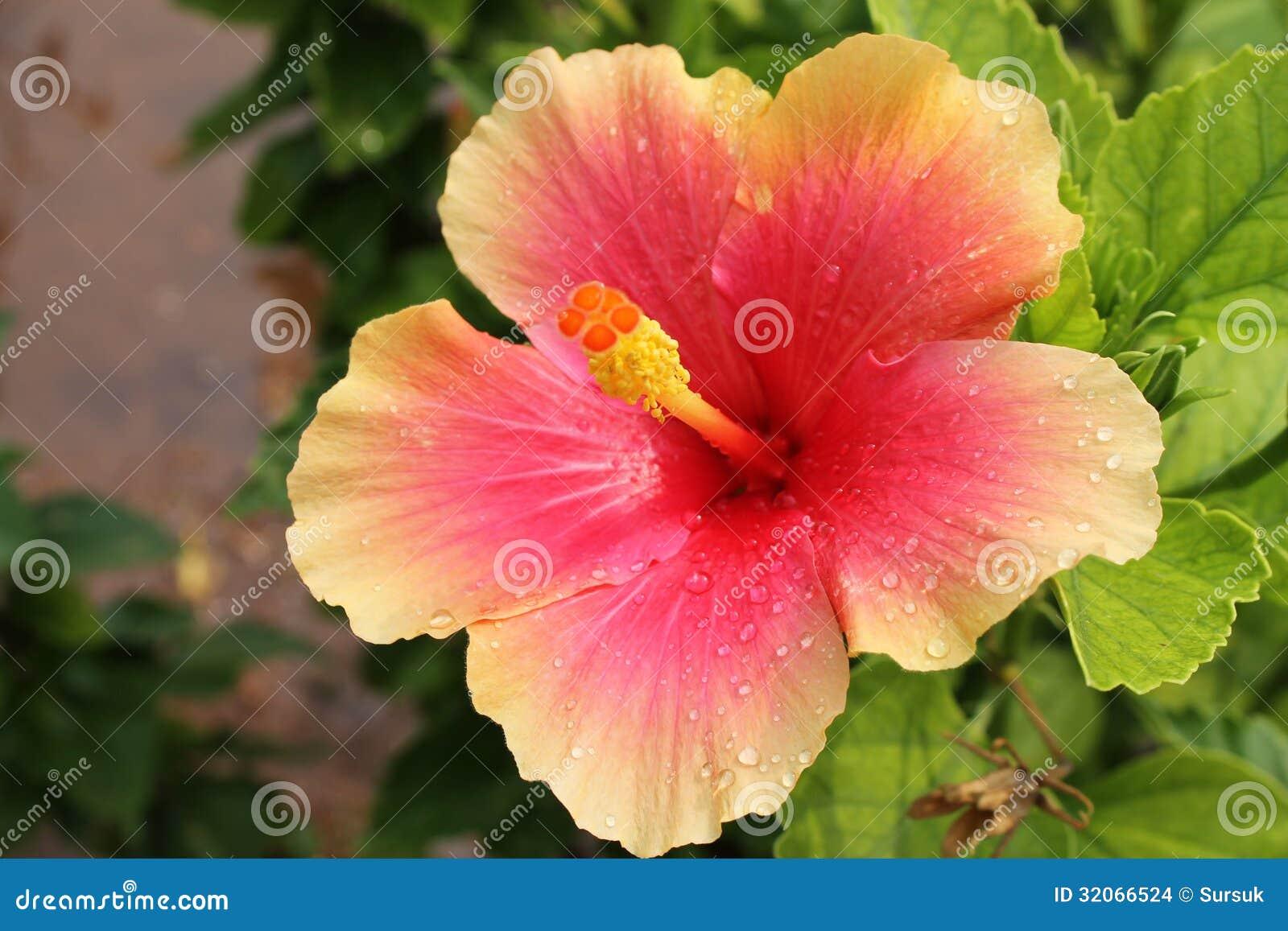 Pink and wet hibiscus flower hibiscus rosa sinensis stock photo download comp izmirmasajfo