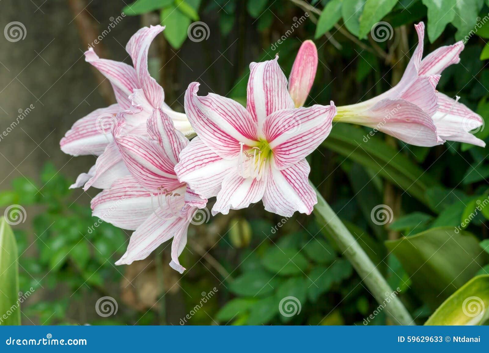Pink White Amaryllis Flowers Stock Image Image Of Green Plant