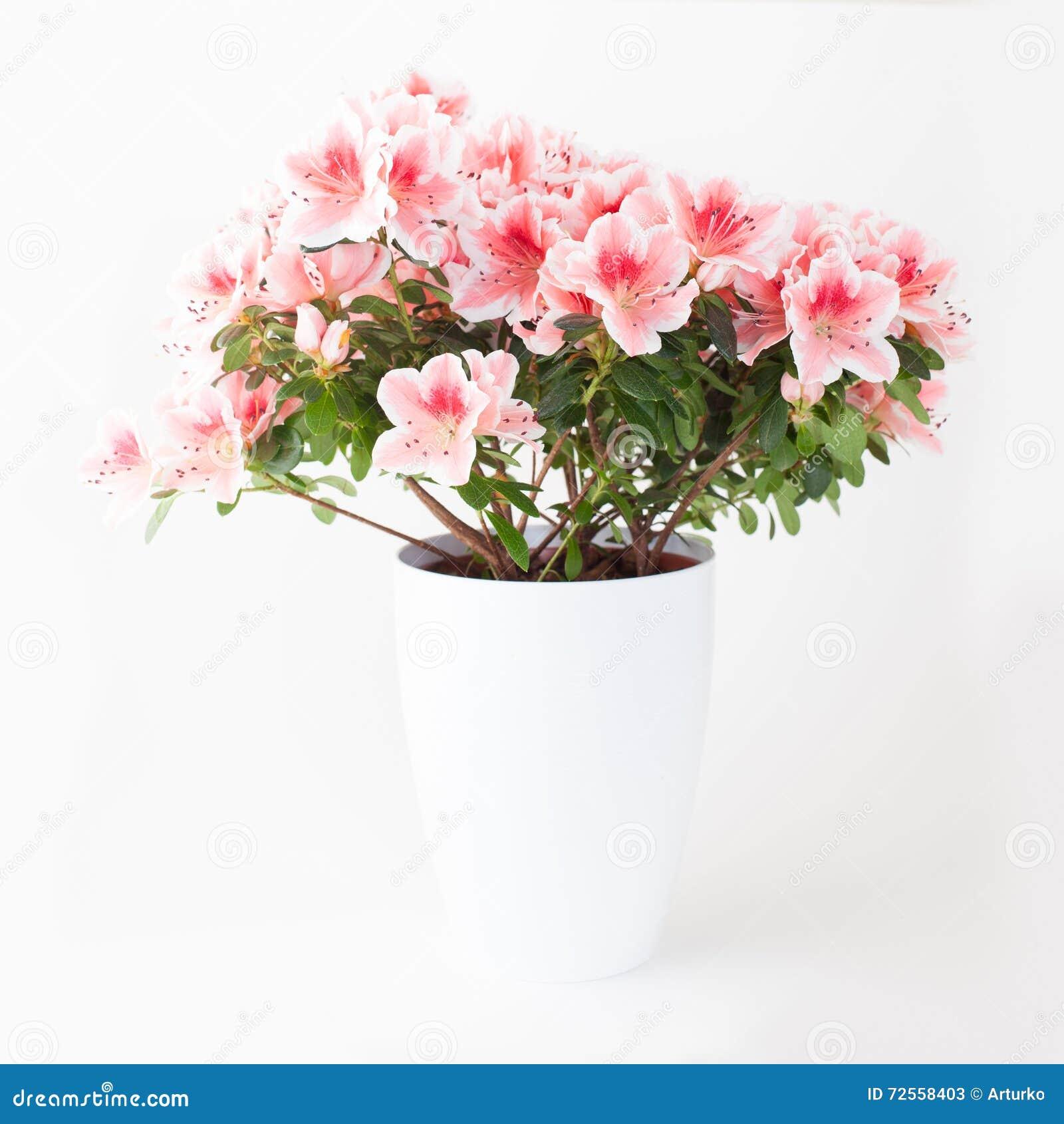 Pink and white azalea flower plant stock image image of azalea pink and white azalea flower plant mightylinksfo