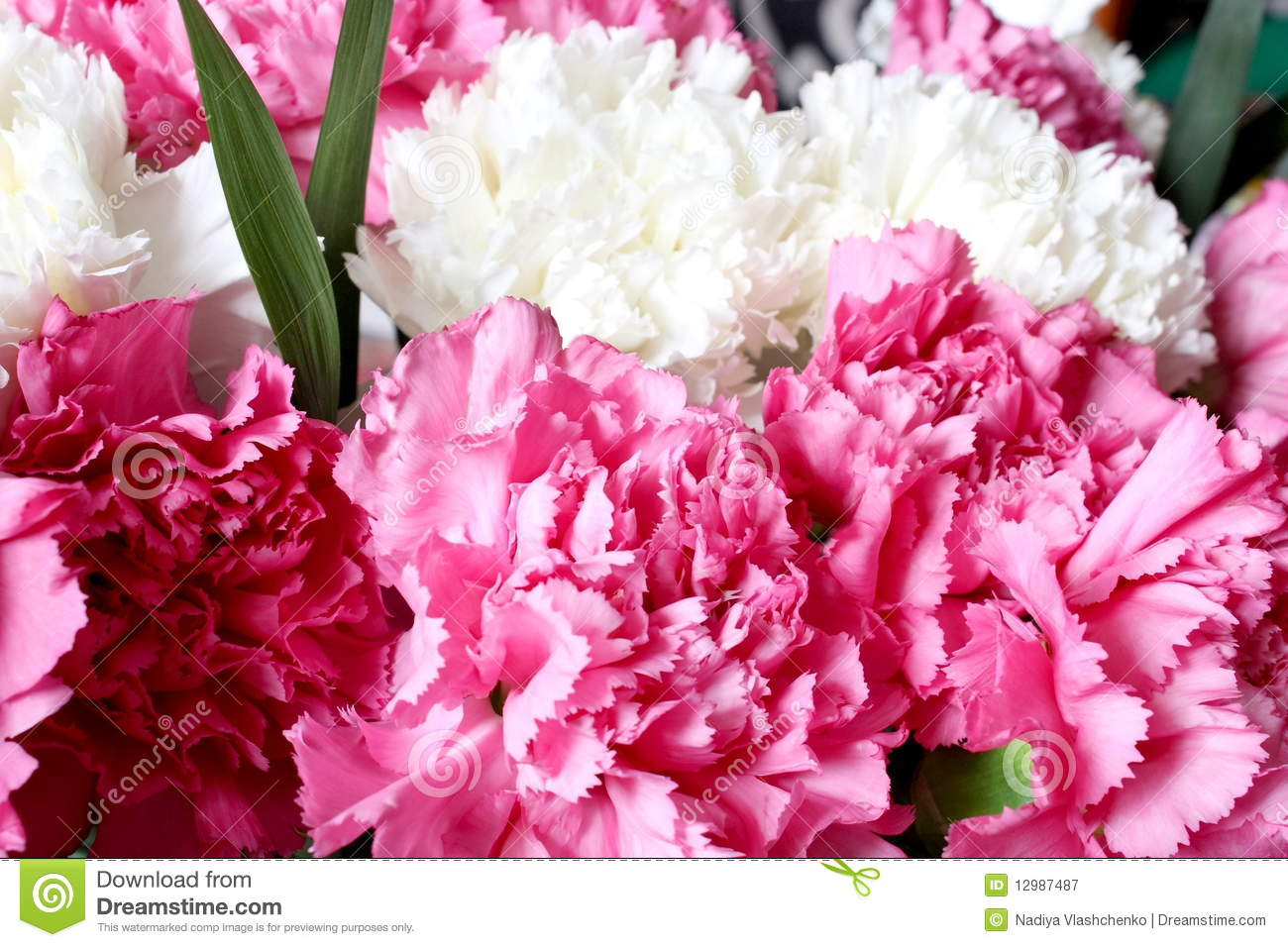 Pink And White Carnations Royalty Free Stock Photography ...