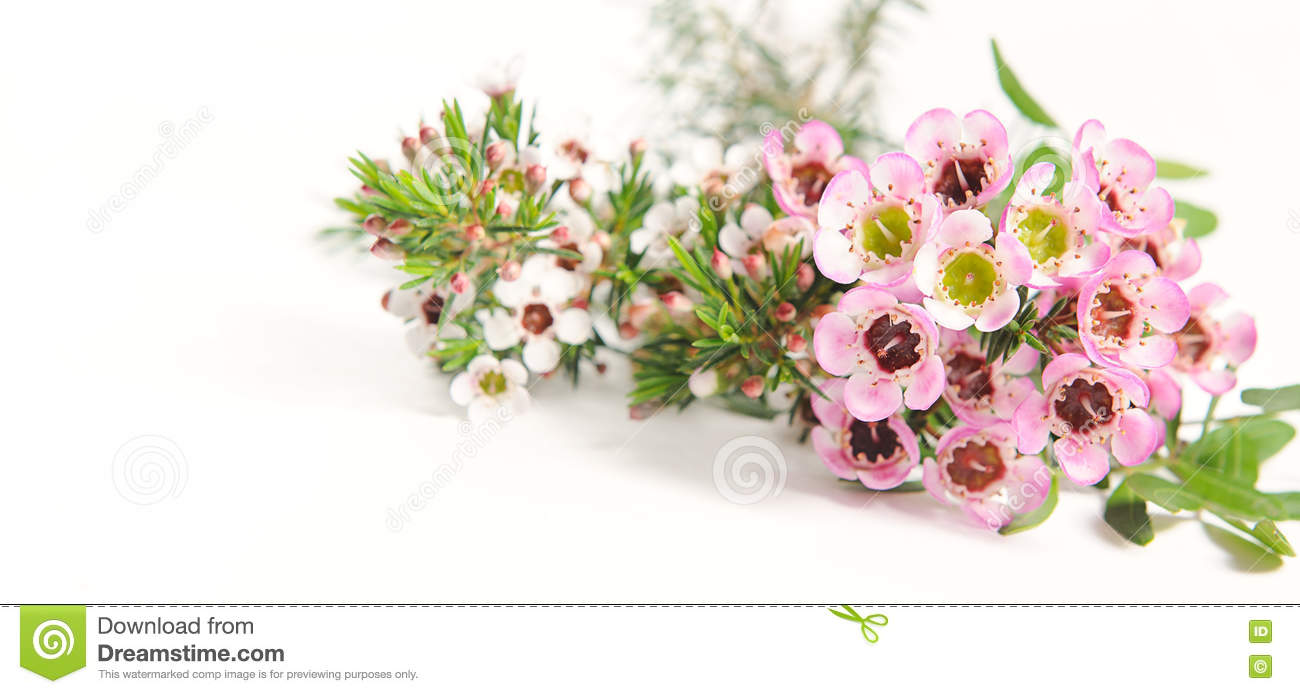 Pink And White Chamelaucium Waxflower Stock Image Image Of Love