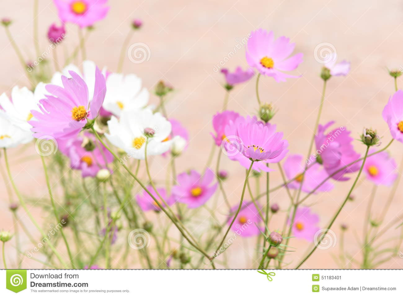 Pink and white cosmo flowers stock image image of full filed pink and white cosmo flowers mightylinksfo