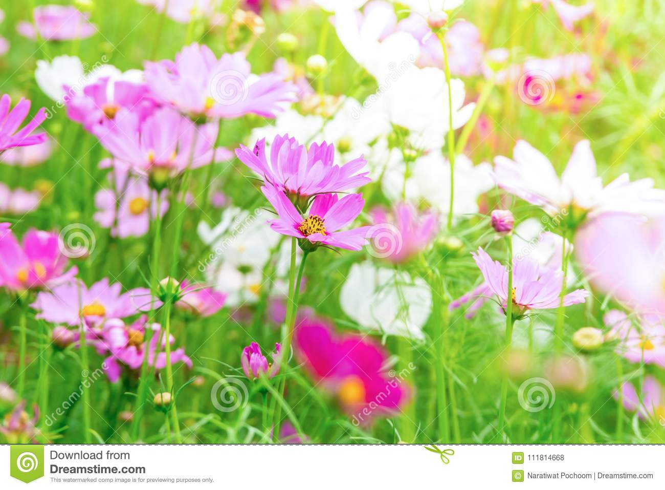 Pink and white cosmos flowers in garden beautiful flower stock download pink and white cosmos flowers in garden beautiful flower stock photo image of mightylinksfo