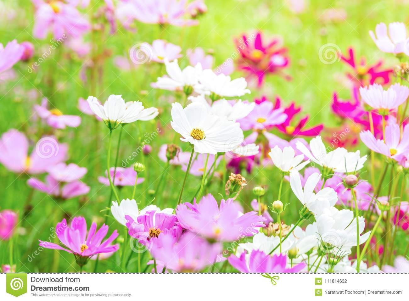 Pink And White Cosmos Flowers In Garden Beautiful Flower Stock