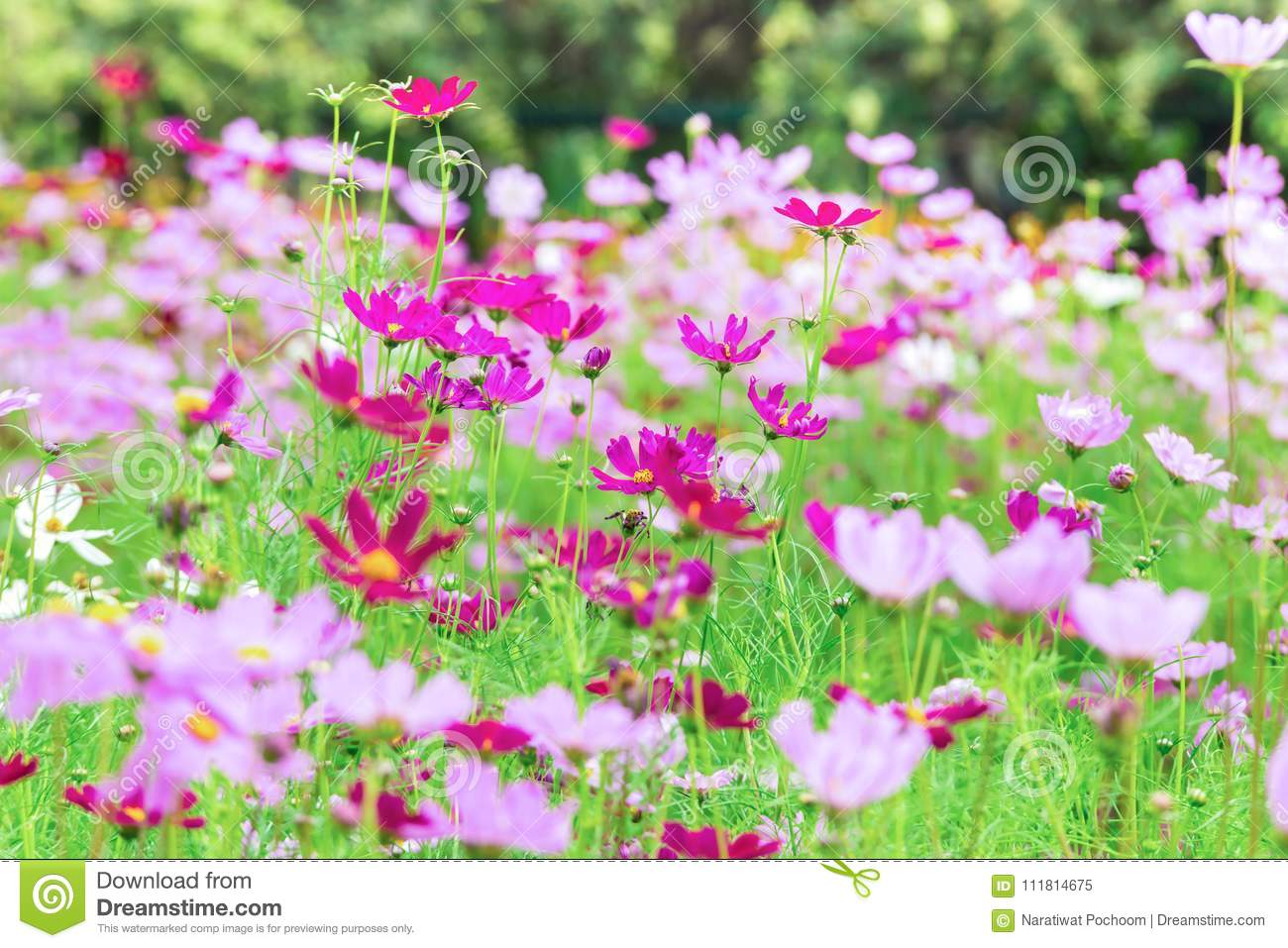 Pink and white cosmos flowers in garden beautiful flower stock pink and white cosmos flowers in garden beautiful flower landscape floral izmirmasajfo