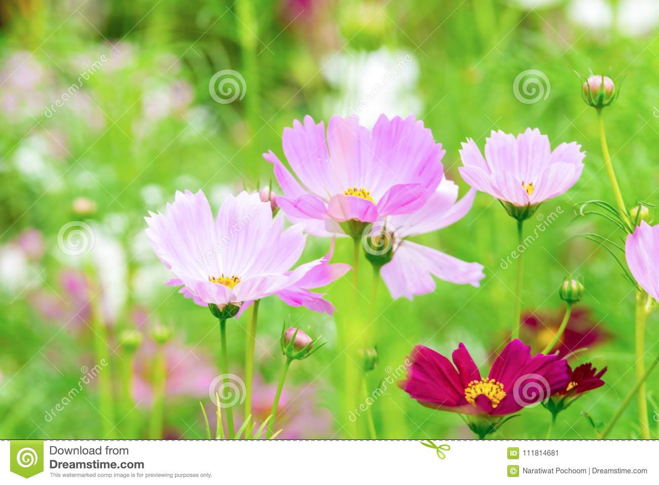 Pink and white cosmos flowers in garden beautiful flower stock pink and white cosmos flowers in garden beautiful flower mightylinksfo