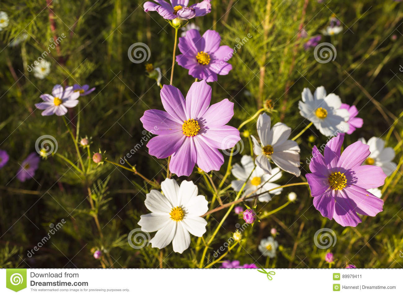 Pink And White Cosmos Flowers Stock Image Image Of Cosmos Africa