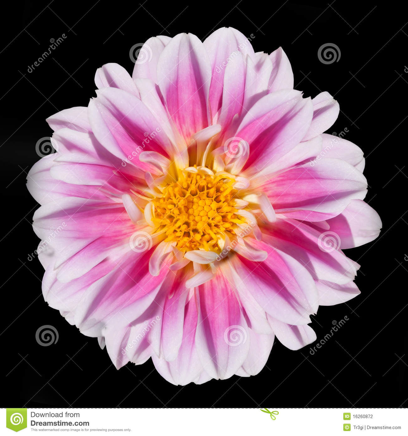 Pink And White Dahlia Flower Isolated Black Stock graphy Image 162