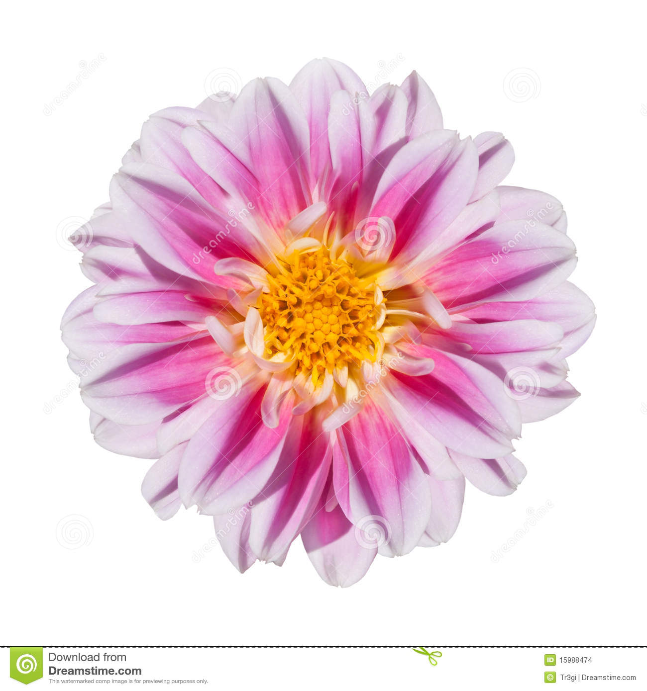 Pink and white dahlia flower isolated on white stock photo image download pink and white dahlia flower isolated on white stock photo image of botanical izmirmasajfo