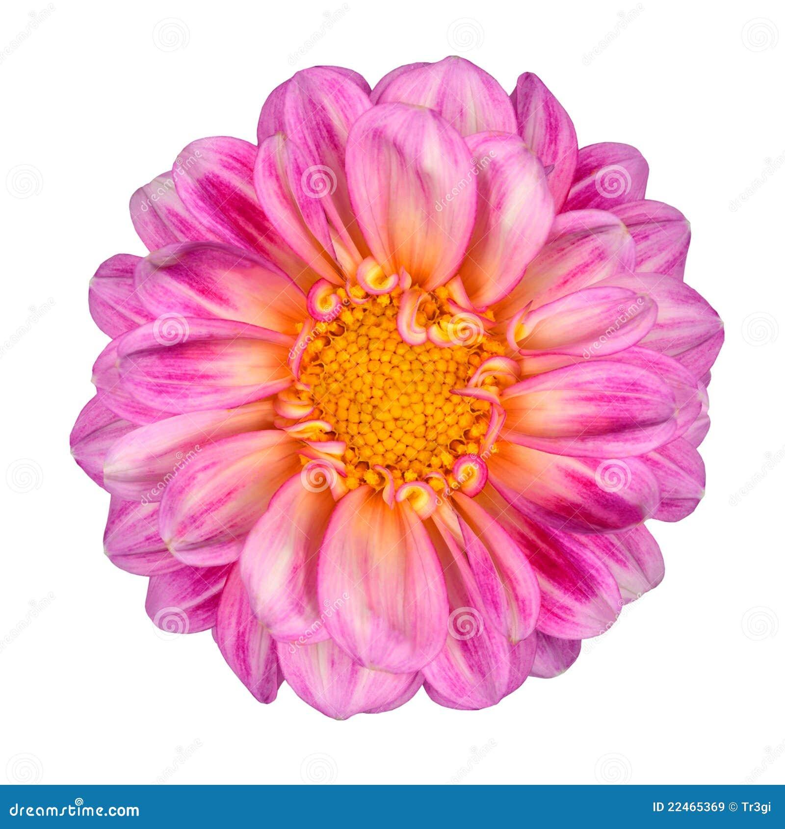Pink white dahlia flower yellow center isolated stock image image pink white dahlia flower yellow center isolated mightylinksfo