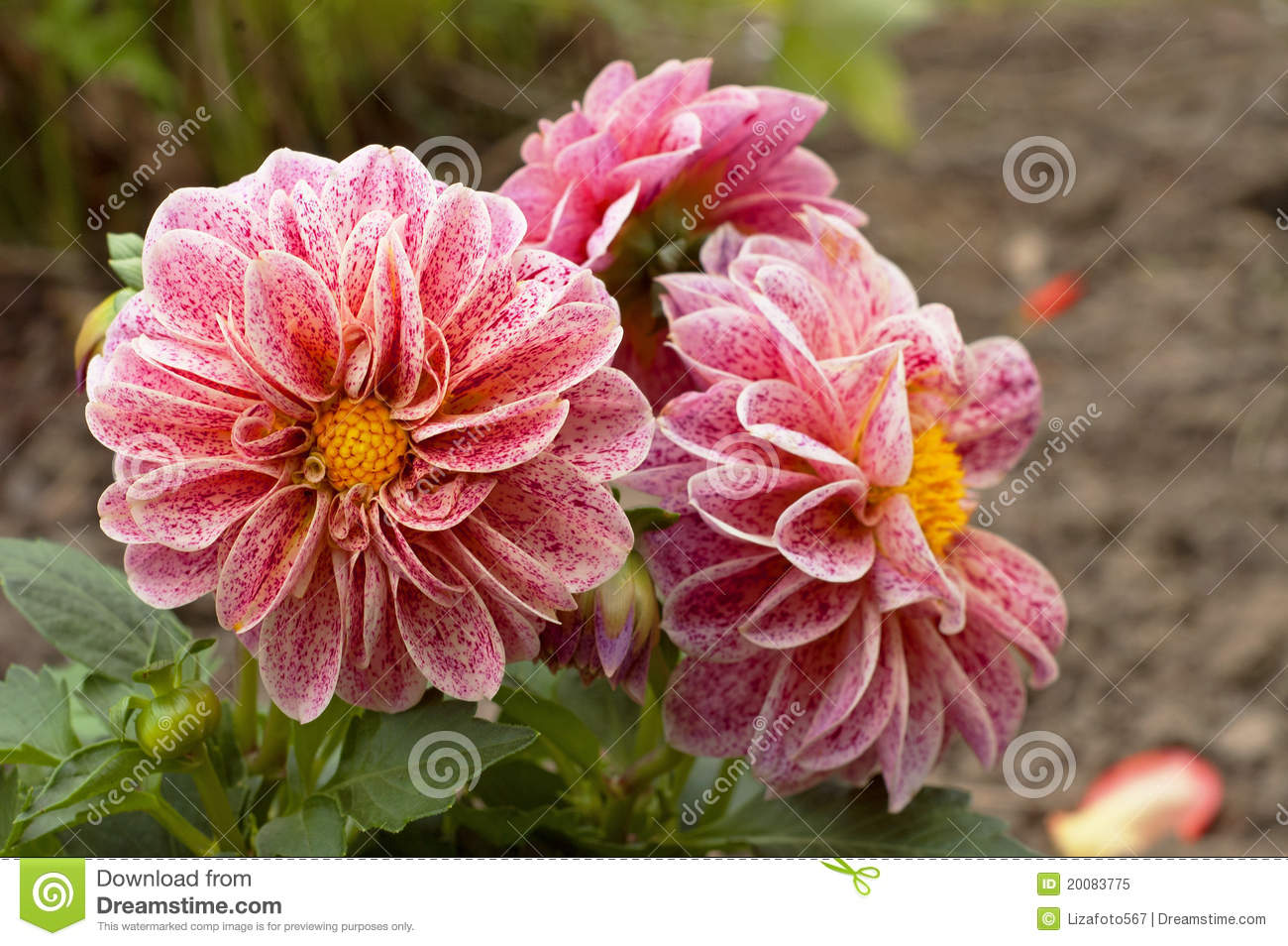 Pink white dahlia flowers stock image image of nature gardening pink white dahlia flowers izmirmasajfo