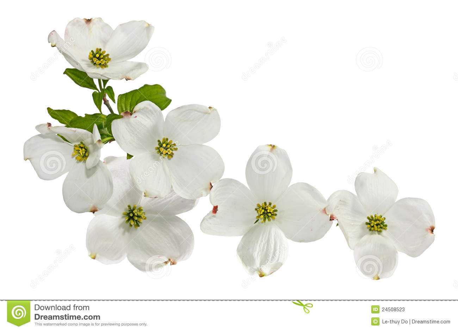 Pink White Dogwood Flowers Stock Image Image Of Pistil 24508523