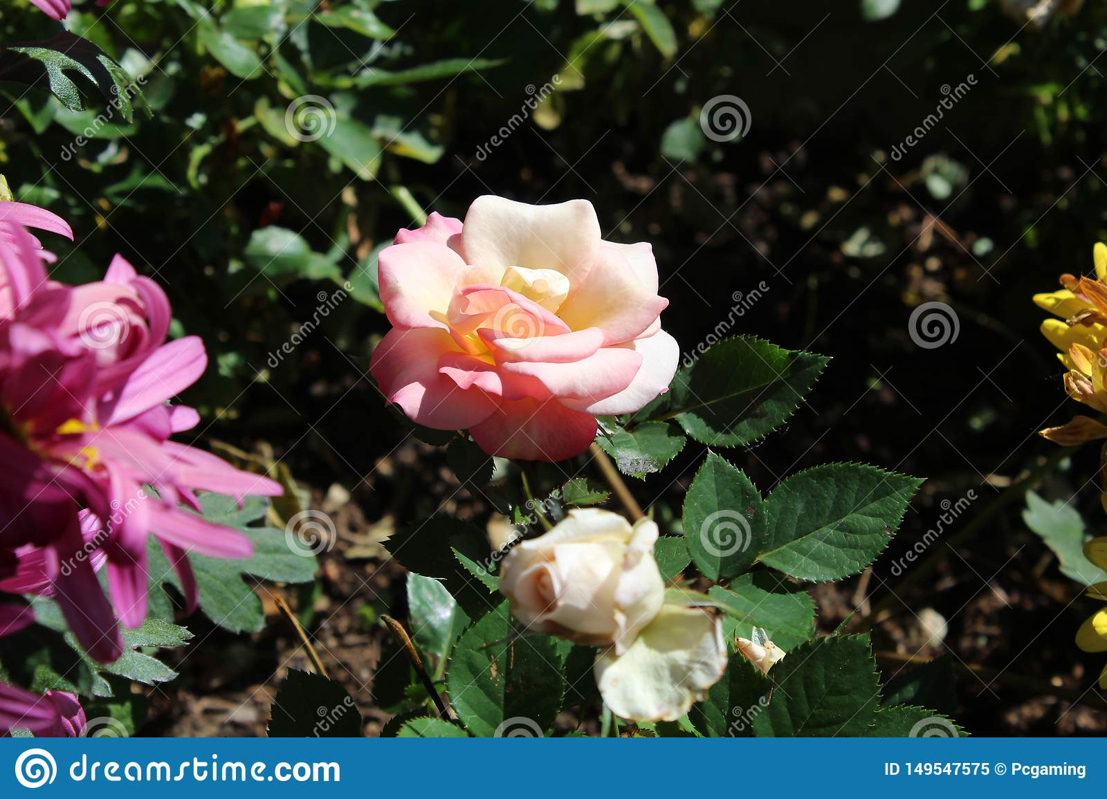 Pink and white flower close up a