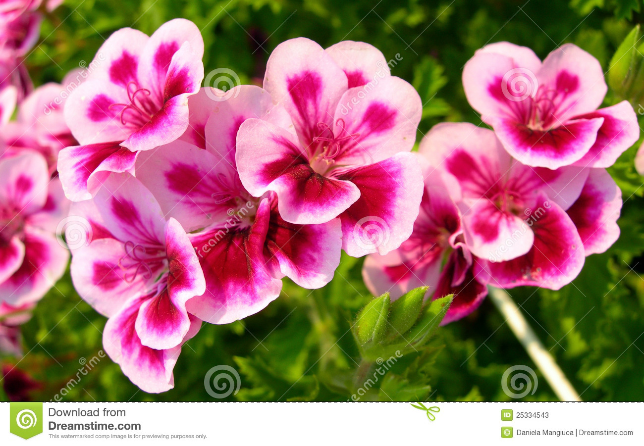 Pink and white flowers close up stock image image of nectar stem download comp mightylinksfo