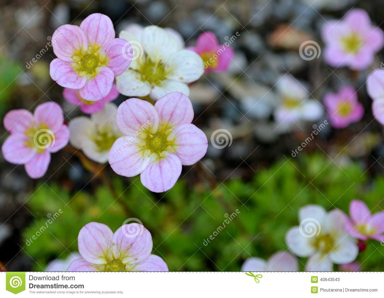 Pink And White Flowers Stock Image Image Of Pretty Plant 40643543