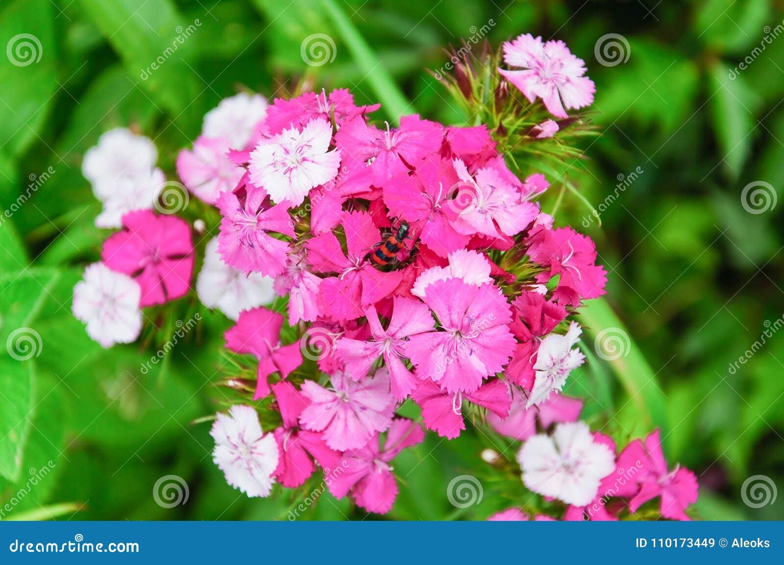 Flowers Of Sweet William Dianthus Barbatus Stock Image Image Of
