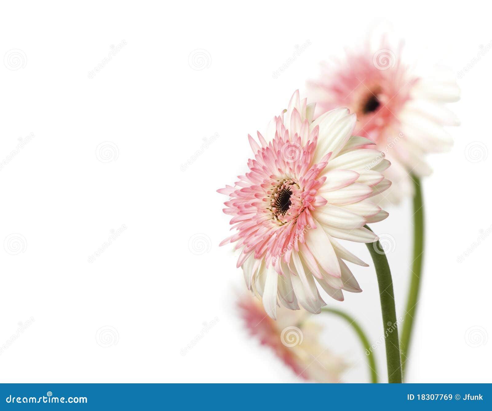 Pink and white Gerbera Daisies