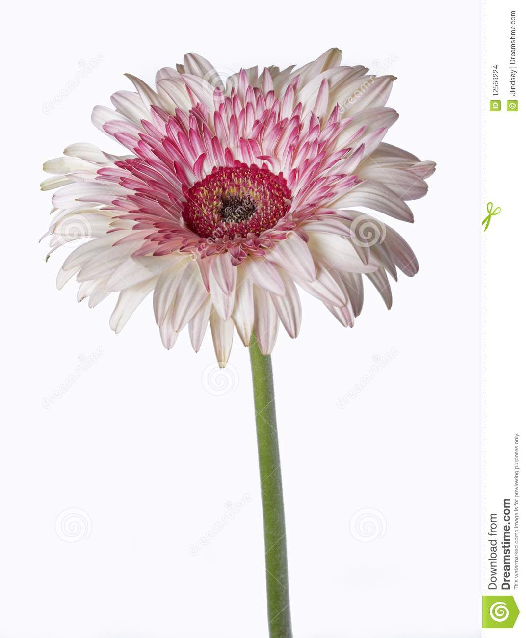 Pink And White Gerbera Daisy, Isolated Stock Photo - Image of head, gerbera:  12569224