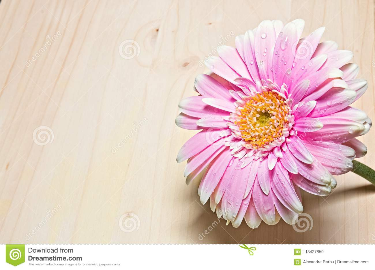 Pink And White Gerbera Flower Close Up On Wood Background Stock