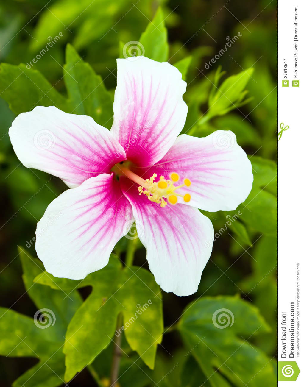 Pink and white hibiscus flower stock image image of object green pink and white hibiscus flower mightylinksfo Choice Image