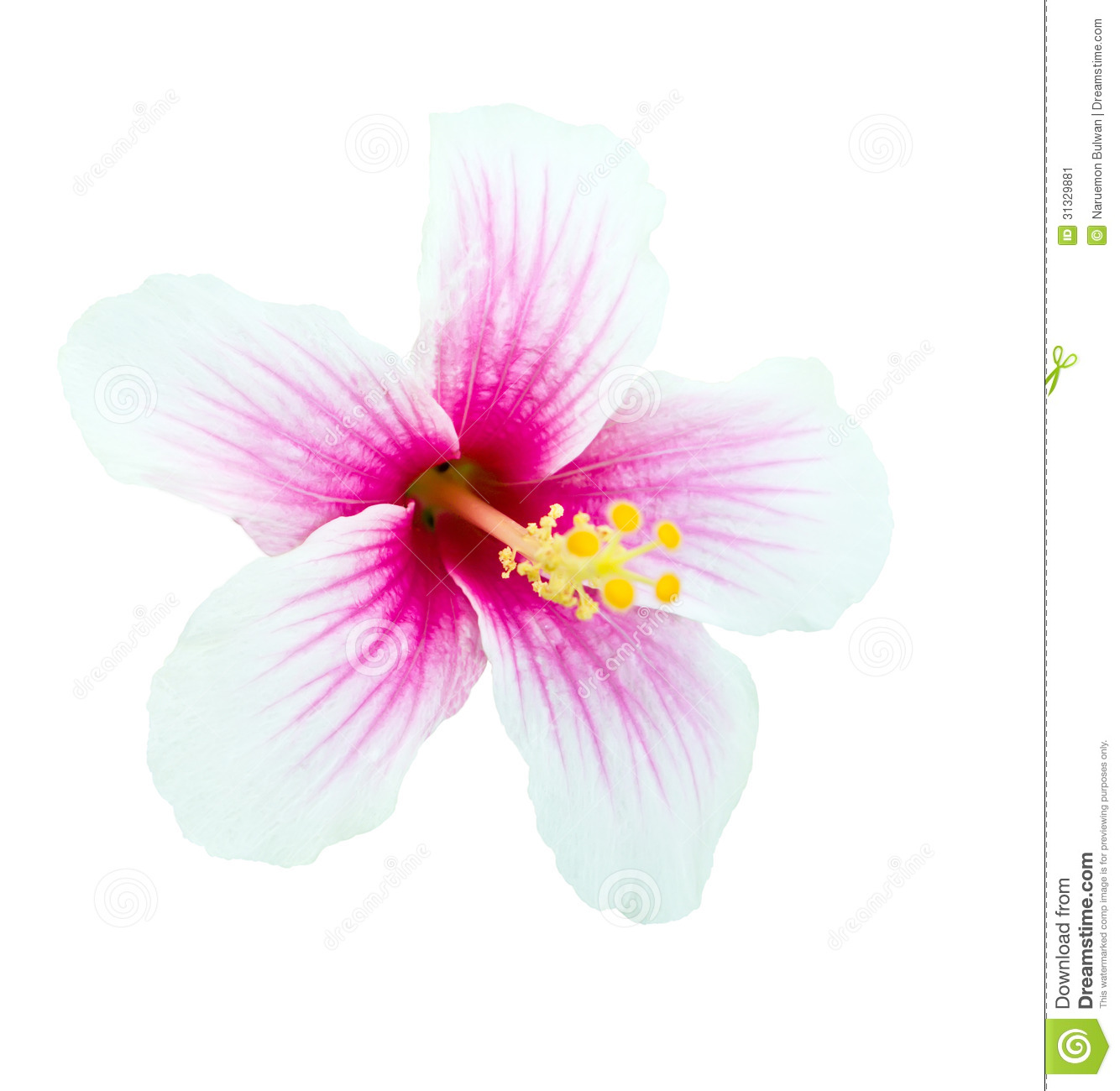 Pink and white hibiscus flower isolated stock image image of pink and white hibiscus flower isolated mightylinksfo