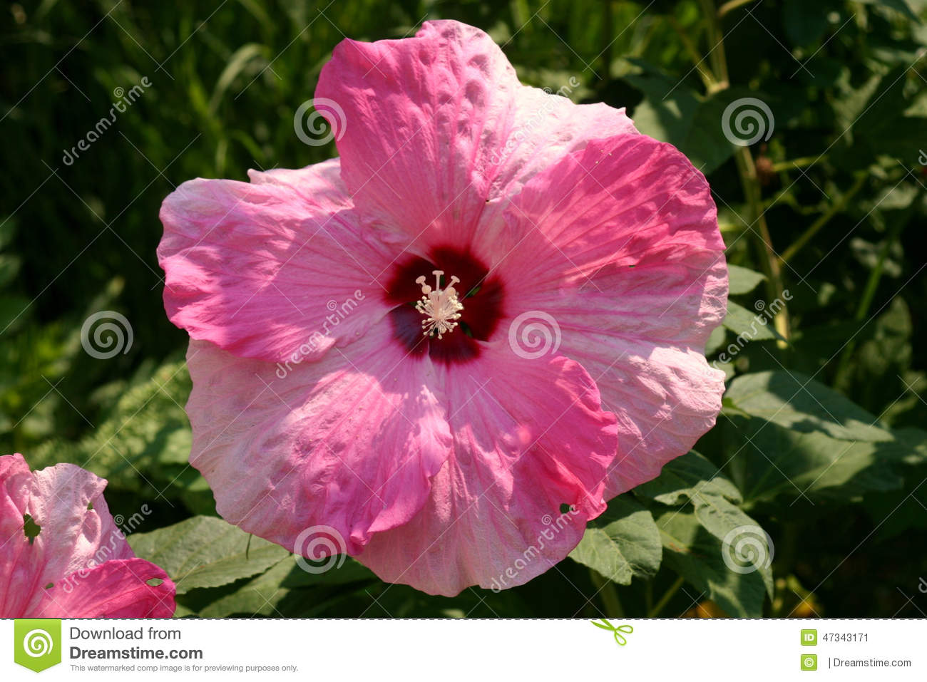 Pink And White Hibiscus. Stock Photo - Image: 47343171