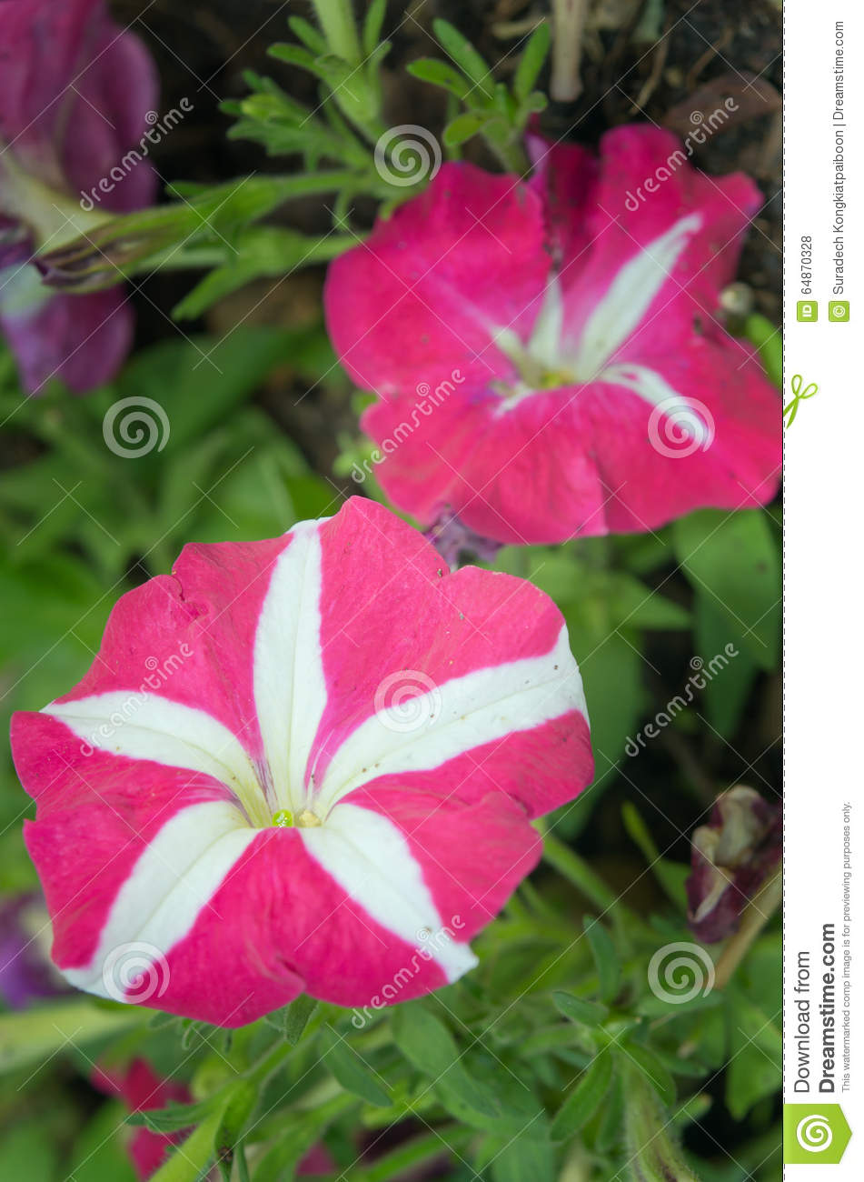 Pink and white flower names images fresh lotus flowers pink and white hybrid desert rose flower other names are desert mightylinksfo