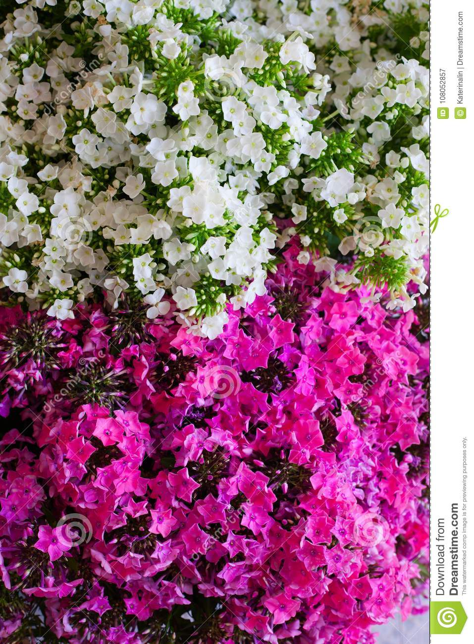 Pink And White Hydrangea Flower Hydrangea Common Names Hydran