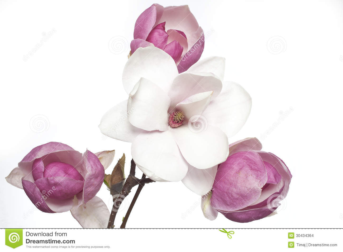 Pink And White Magnolia Flower Stock Photo Image Of Nature Petals
