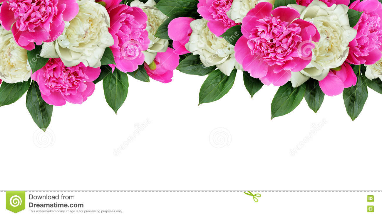 Pink And White Peonies Flowers Header Stock Photo Image Of Line