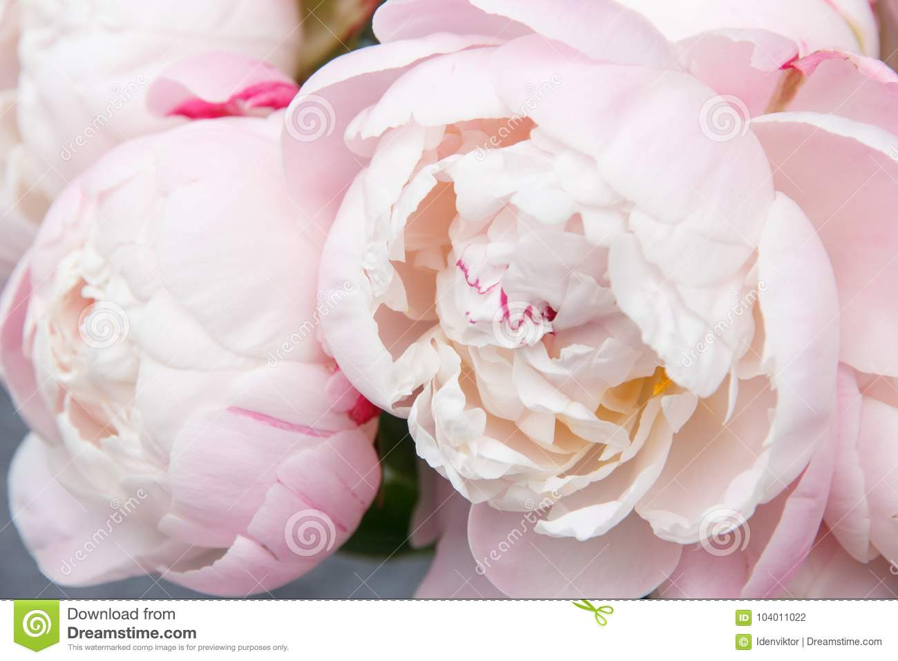 Bouquet Of White Pink Peonies Closeup Stock Photo Image Of Closeup Decoration 104011022