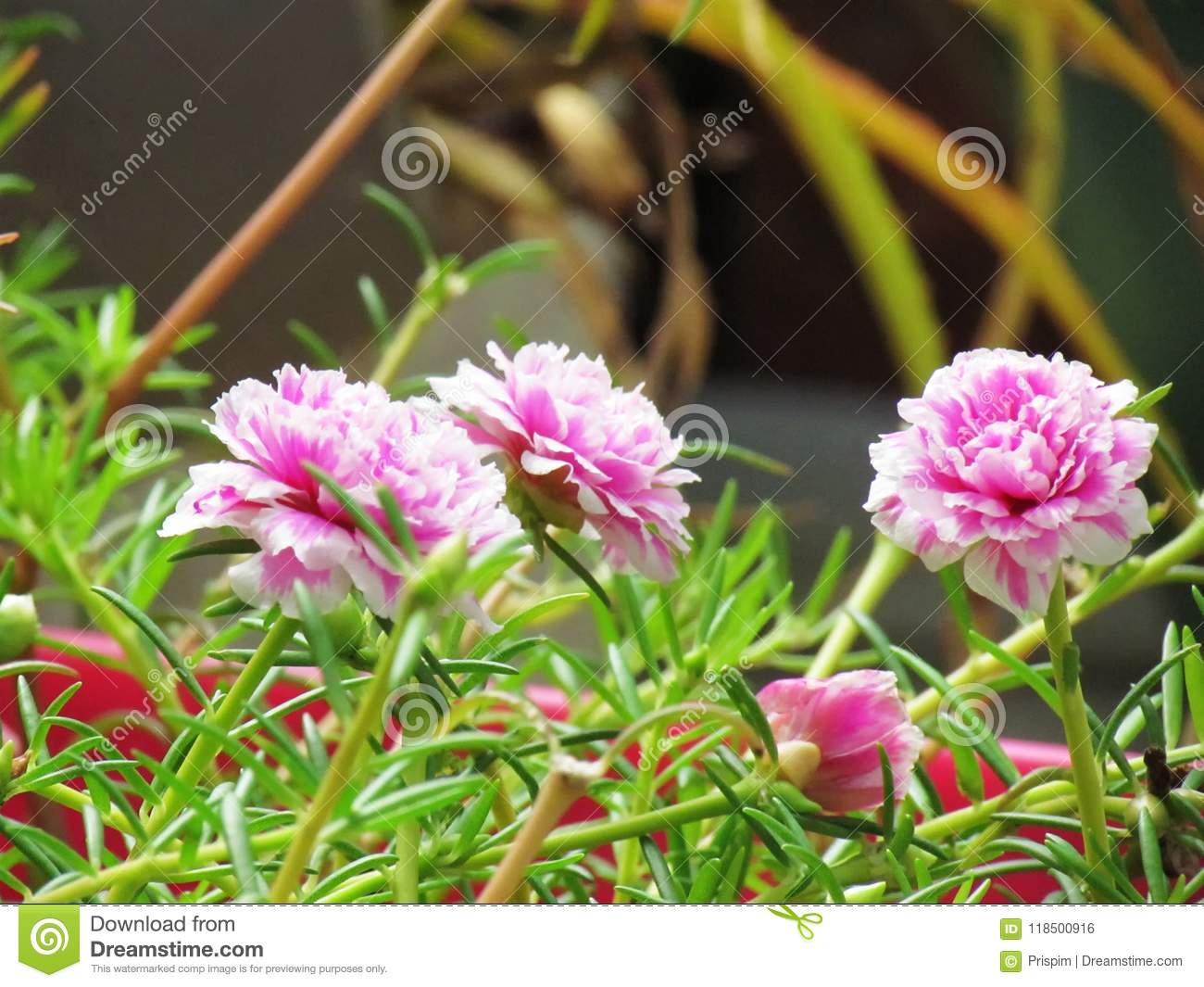 Portulaca flowers - decoration of any flower bed 52