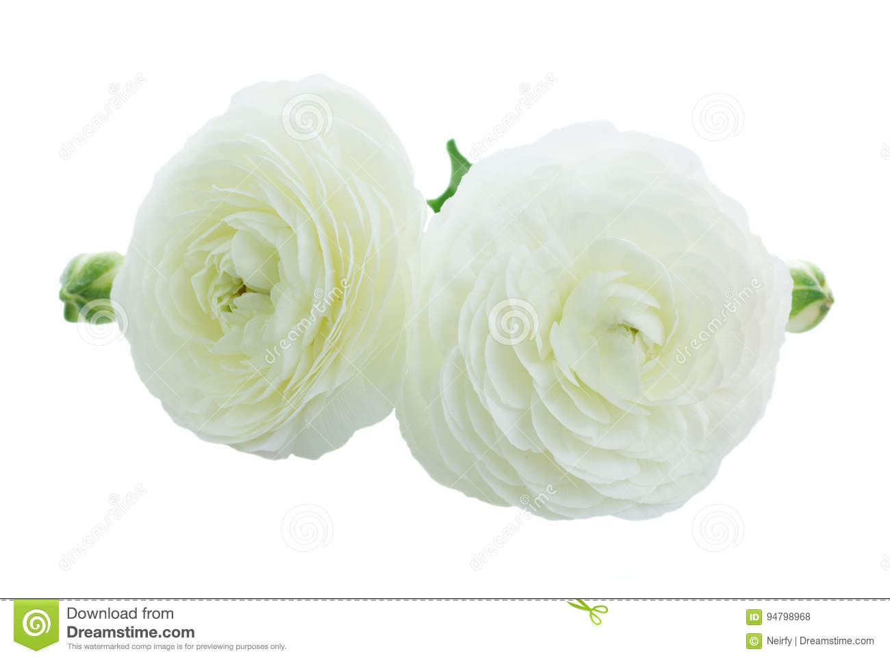 Pink and white ranunculus flowers stock photo image of color pink and white ranunculus flowers mightylinksfo