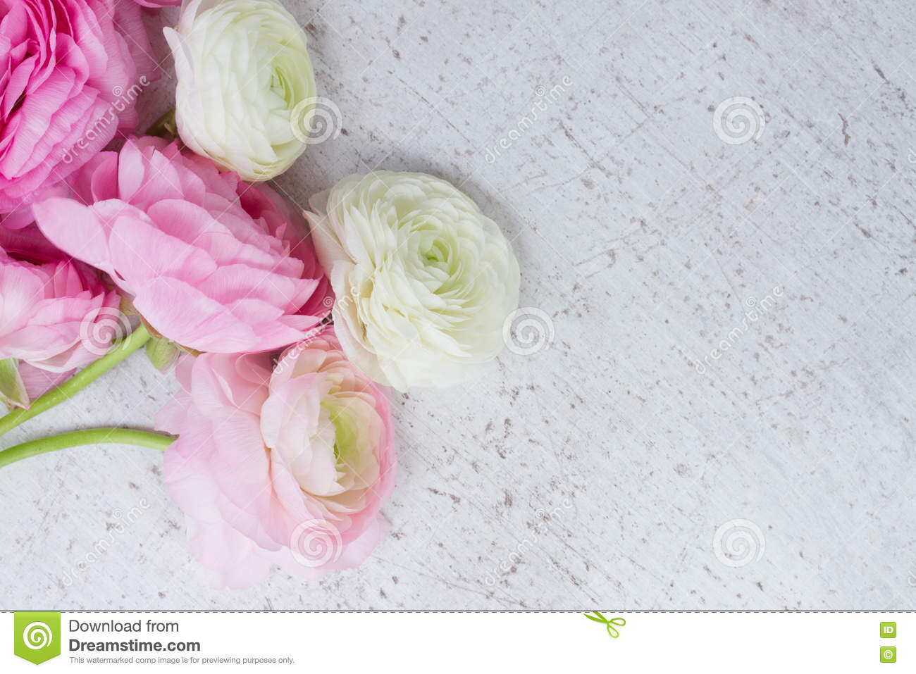 Pink And White Ranunculus Flowers Stock Photo Image Of Pink Flora
