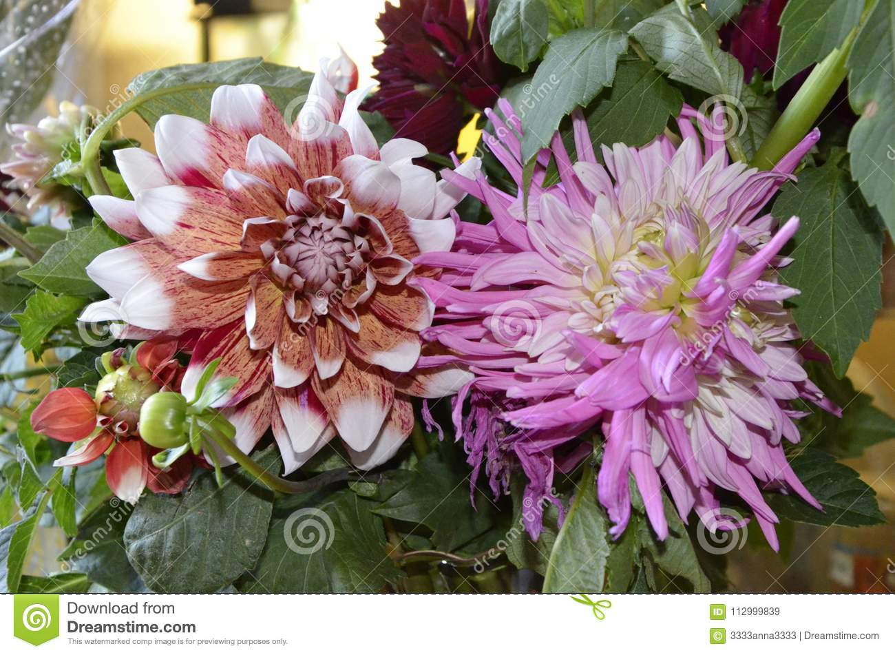Pink White And Red Dahlia Is A Flower Famous For Dazzling Beauty