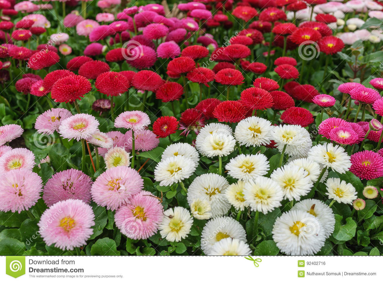Pink white and red english daisy flower in outdoor park day lig download pink white and red english daisy flower in outdoor park day lig stock photo izmirmasajfo