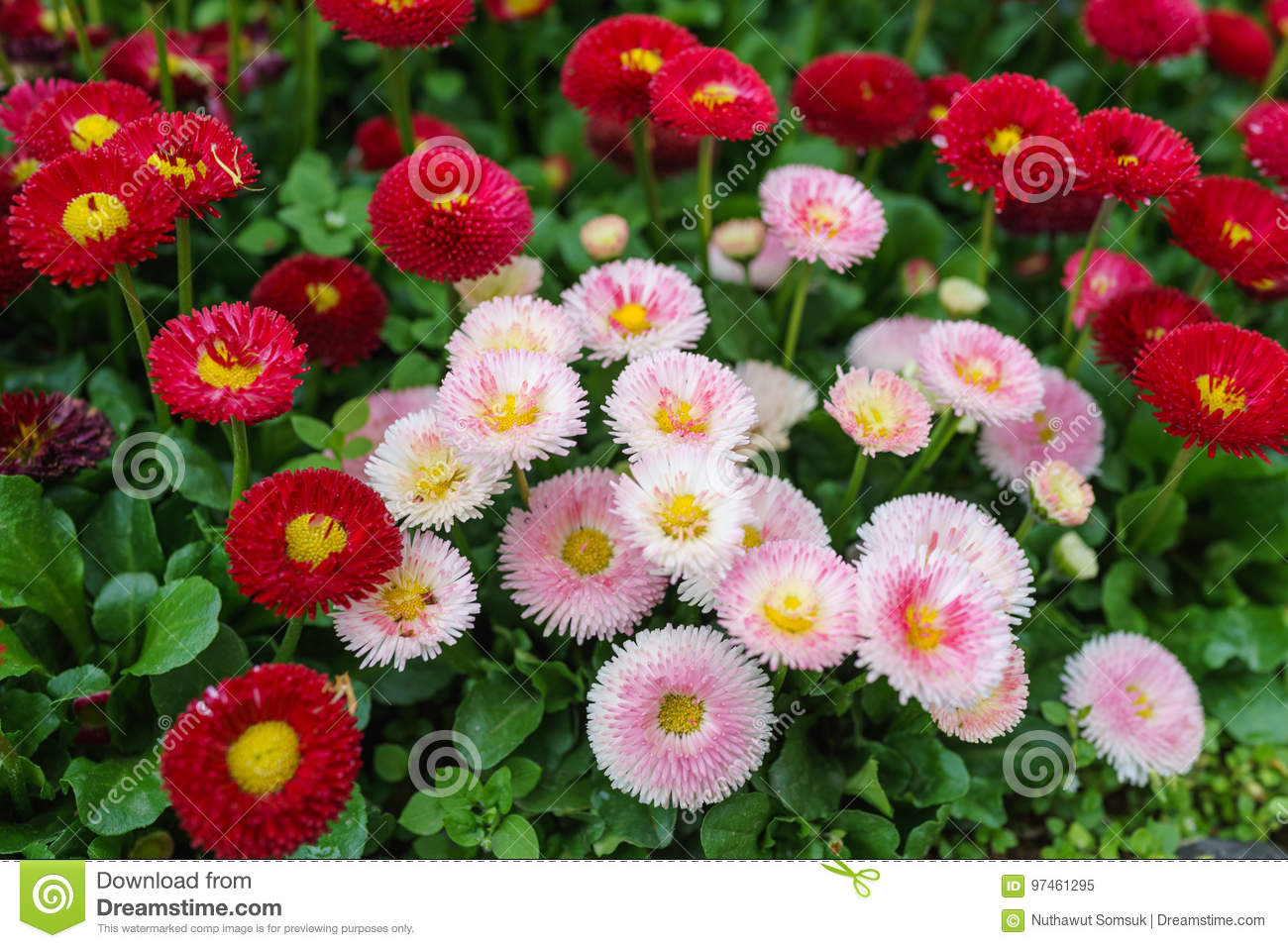 Pink white and red english daisy flower in outdoor park day lig download pink white and red english daisy flower in outdoor park day lig stock image izmirmasajfo