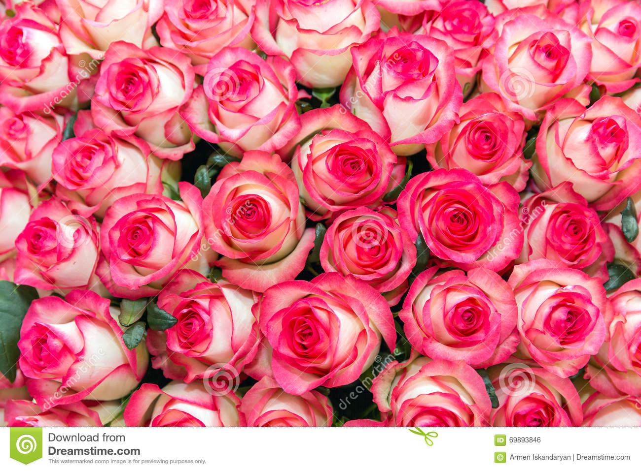 pink and white rose background stock photo image 69893846